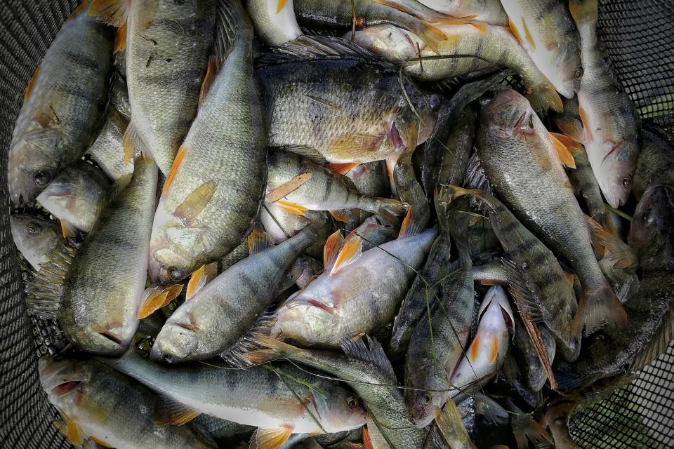 ribolov grgeca