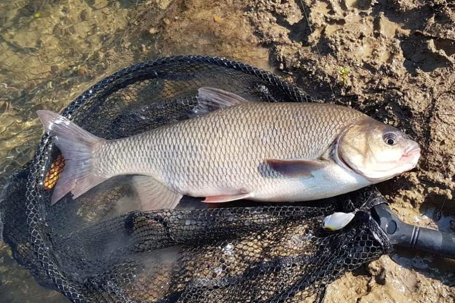 riba jez 1
