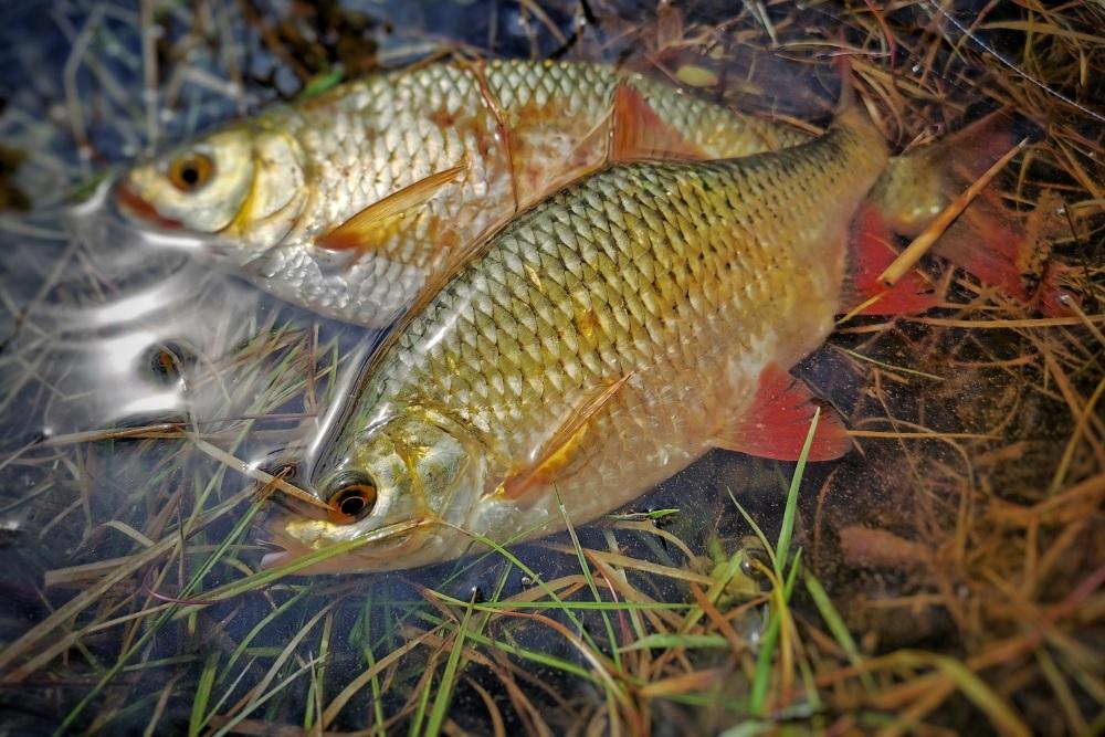 crvenperke ribolov